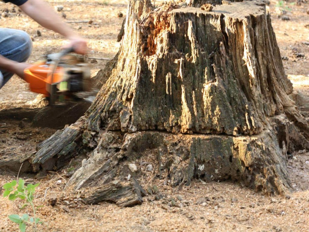 Stump Removal-Bartow FL Tree Trimming and Stump Grinding Services-We Offer Tree Trimming Services, Tree Removal, Tree Pruning, Tree Cutting, Residential and Commercial Tree Trimming Services, Storm Damage, Emergency Tree Removal, Land Clearing, Tree Companies, Tree Care Service, Stump Grinding, and we're the Best Tree Trimming Company Near You Guaranteed!